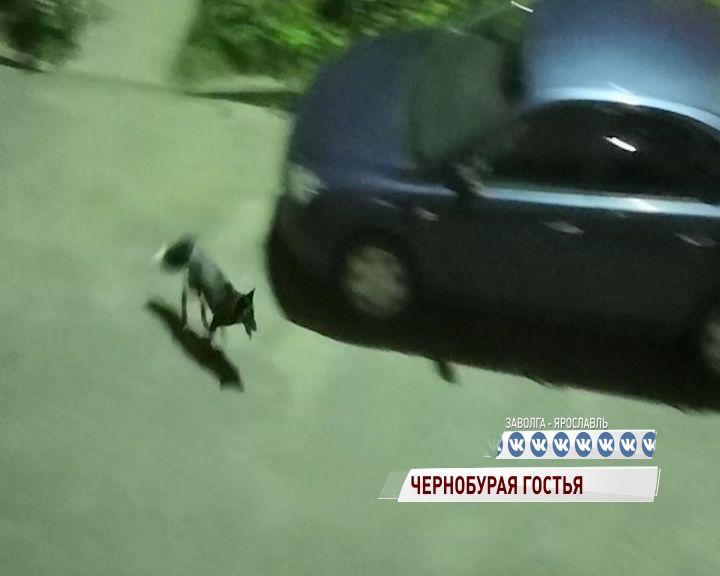 Черная лисица прогулялась по улицам Заволги
