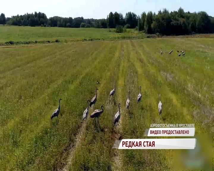 Стая серых журавлей залетела в Ярославскую область