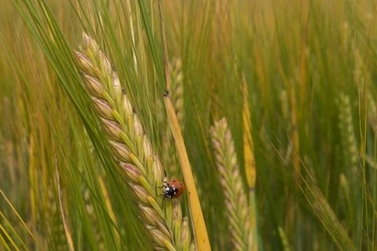 В Ярославской области собрали порядка 103 тысяч тонн зерновых и зернобобовых