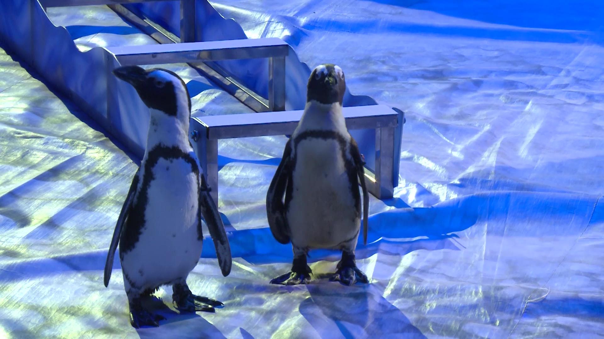 В ярославском цирке стартовала программа с дрессированными пингвинами