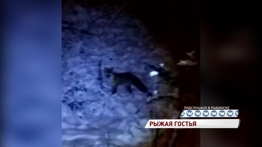В Рыбинске на стадионе «Восход» гуляет лиса