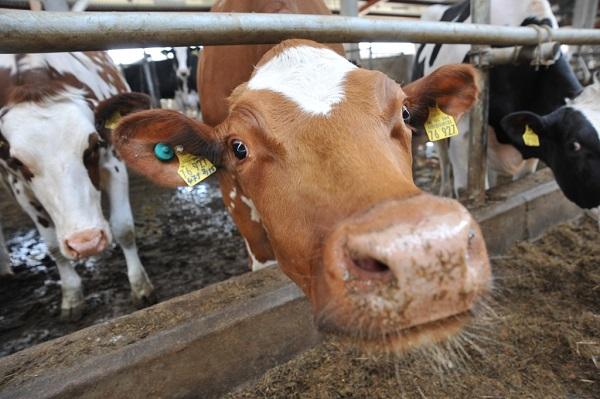 В Ярославской области надои молока увеличились