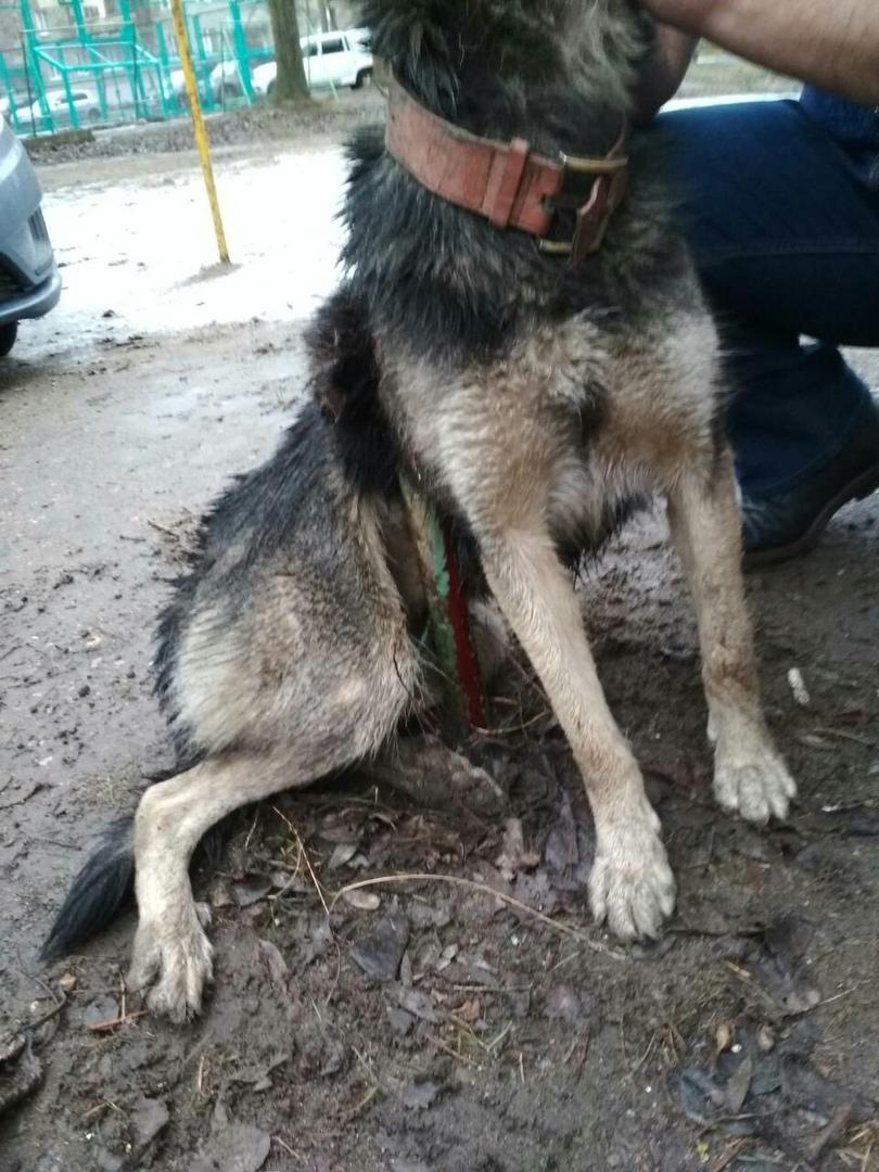 В Ростове неизвестные насадили дворнягу на арматуру: как спасали пса