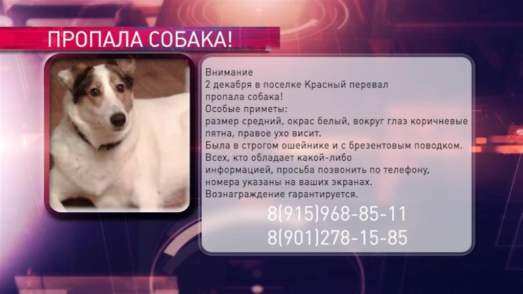 В поселке Красный Перевал пропала собака