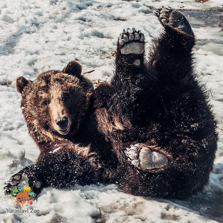 Медведи из Ярославского зоопарка не могут уснуть: в чем причина