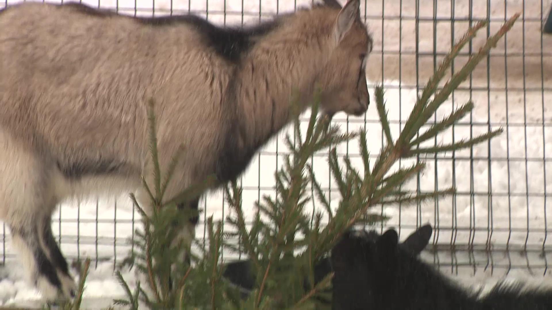 Новогодние елки ярославцев скормят козлам и верблюдам