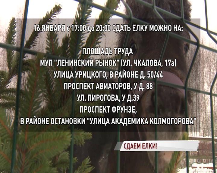 В разных районах Ярославля можно сдать елку для зоопарка