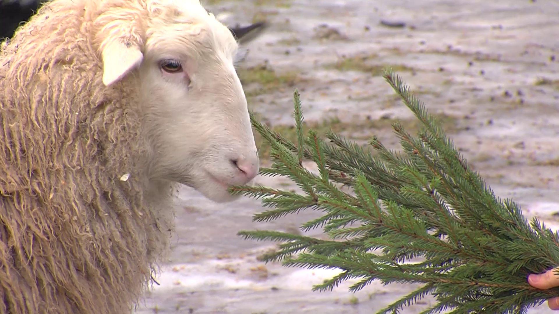 В ярославский зоопарк передали елки для животных
