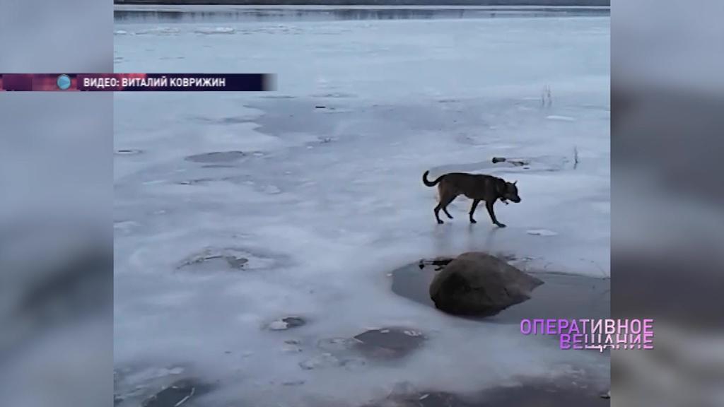 ВИДЕО: Спасатели выручили застрявшую на льдине собаку