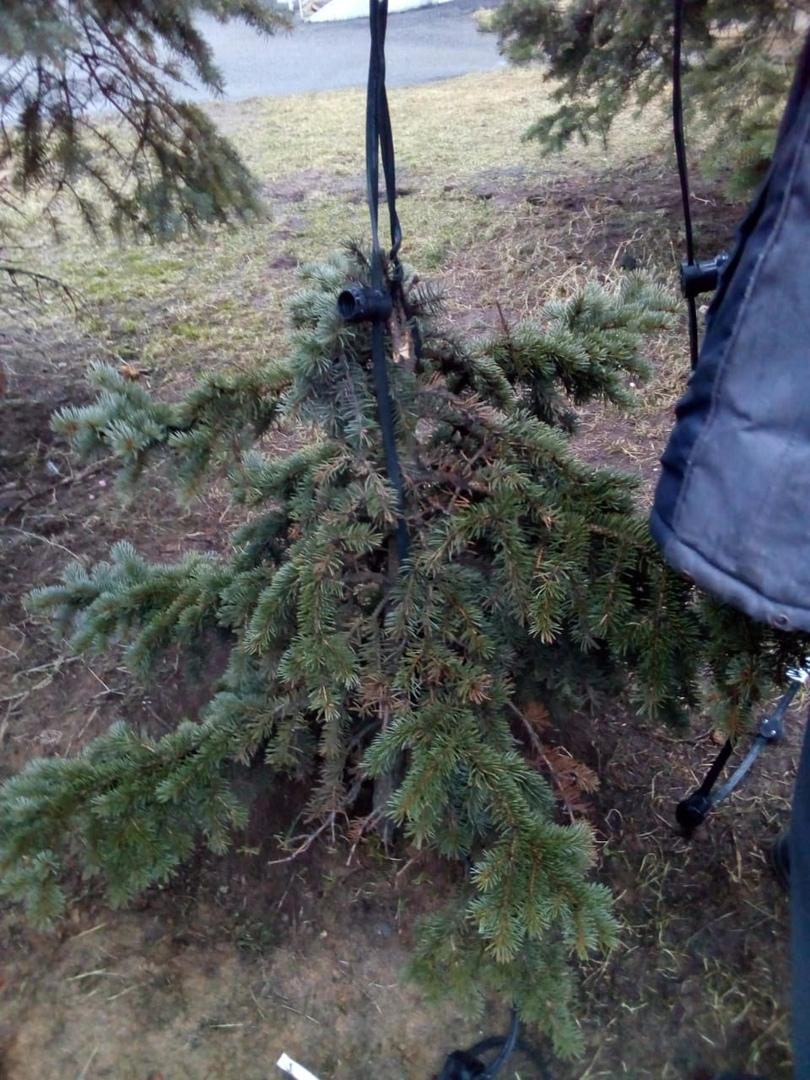 В Заволжском районе вандалы сломали елку и украли с нее гирлянду