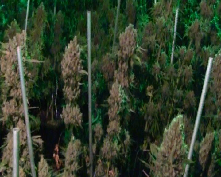Ярославец выращивал на даче коноплю для продажи