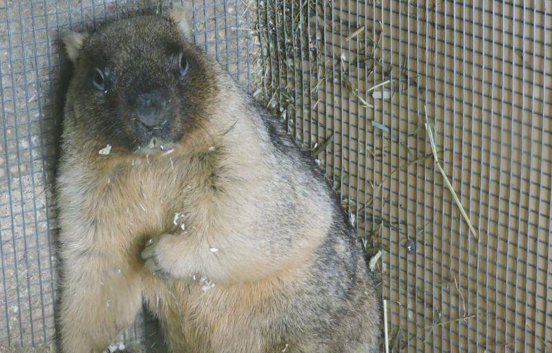 Сладкая парочка: в Ярославском зоопарке сурок и бурундук вышли из спячки