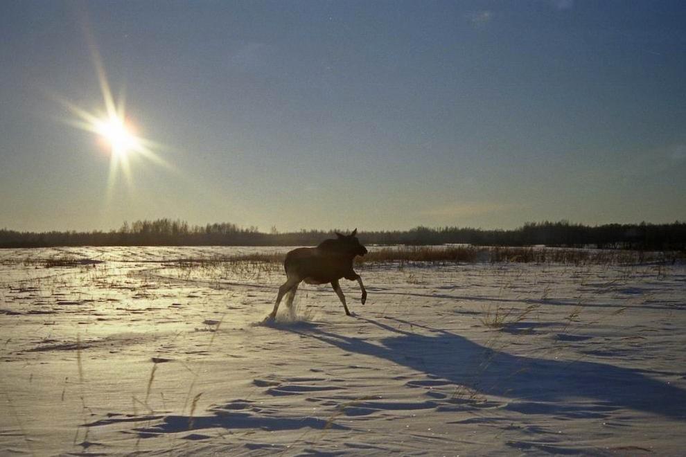 В левобережной части Тутаевского района подстрелили трех лосей