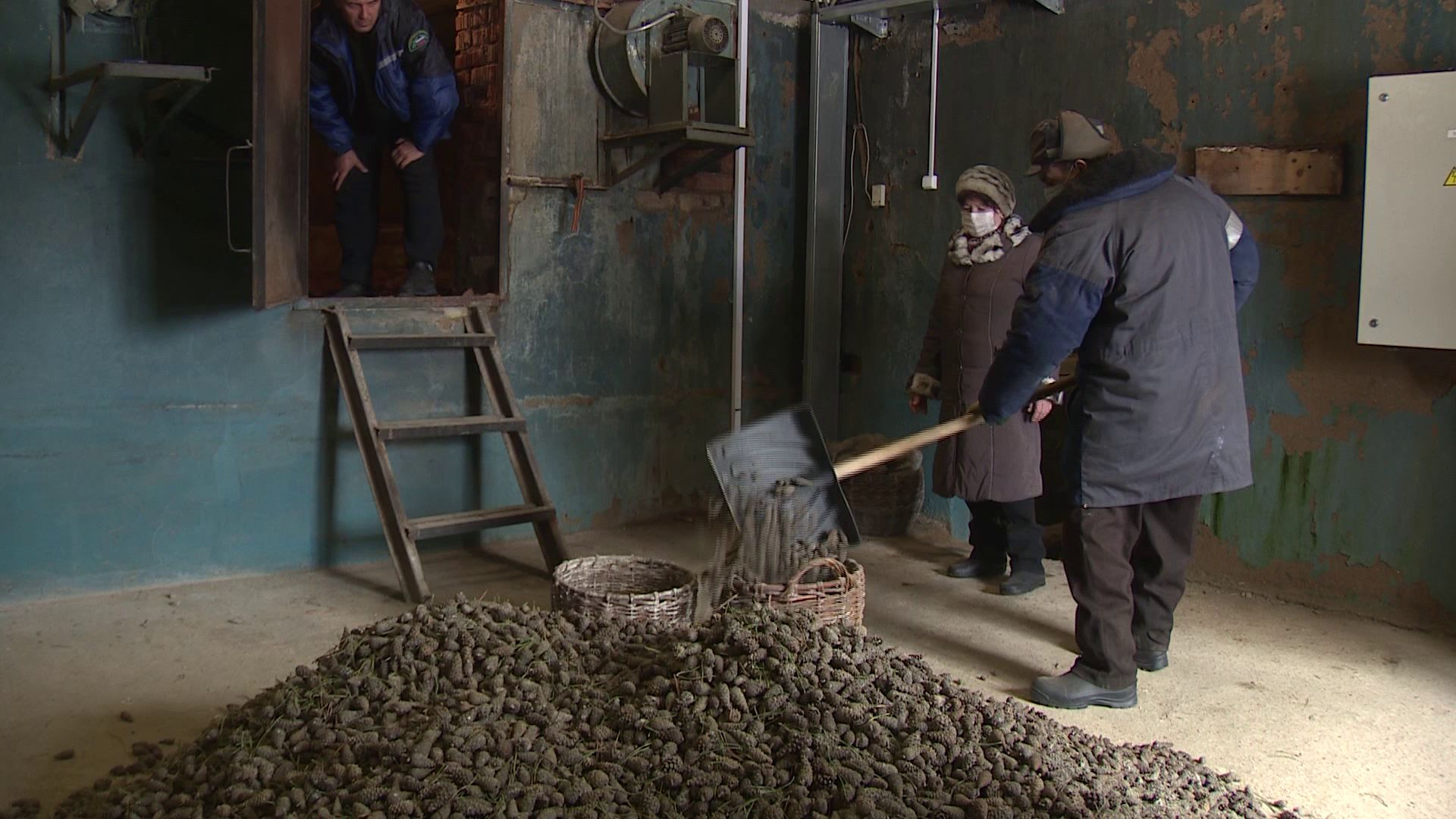 В Ярославской области готовят шишки для лесовосстановительных работ