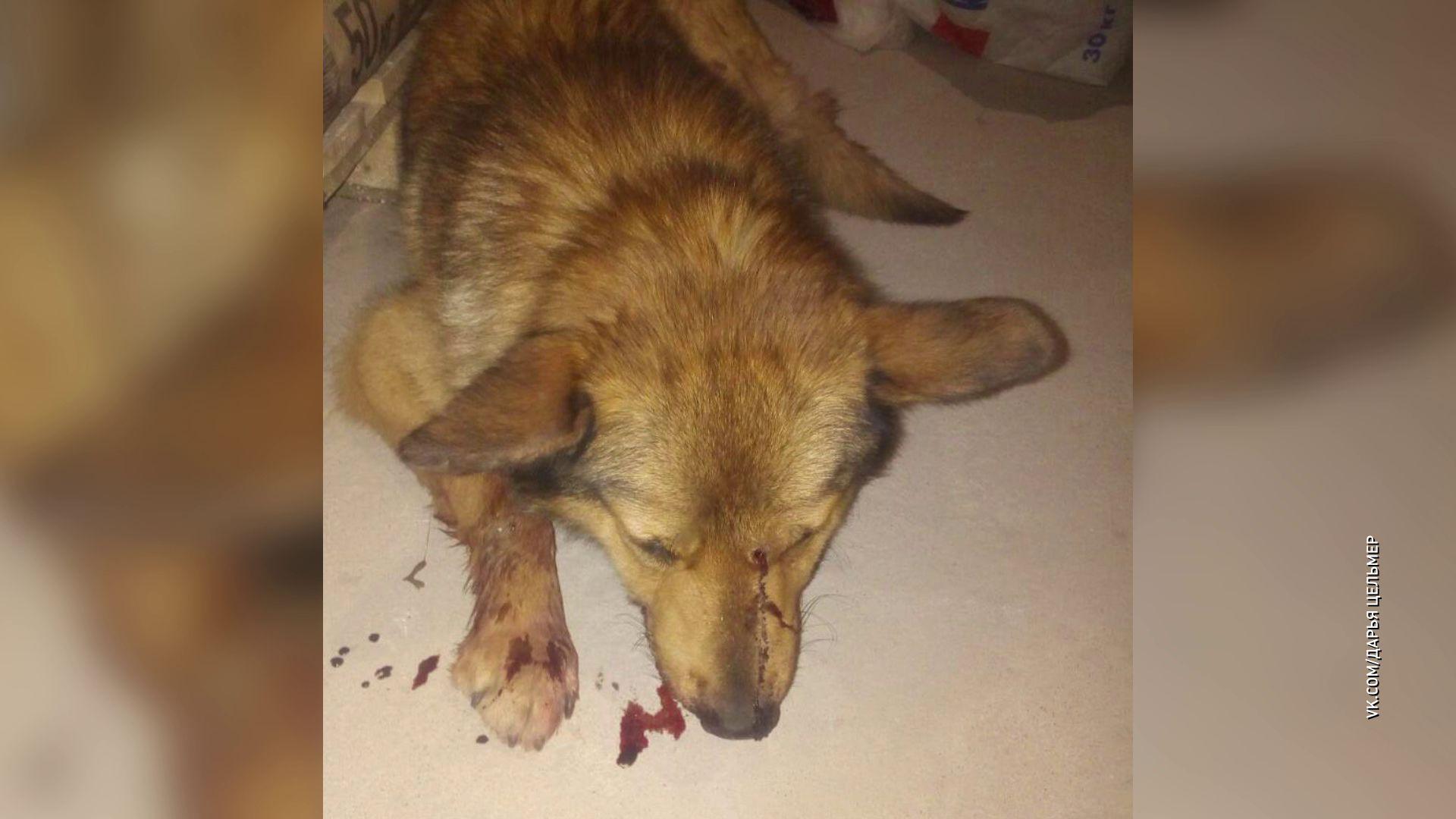 Пострадала, но выжила: в поселке Щедрино неизвестный выстрелил собаке прямо в нос