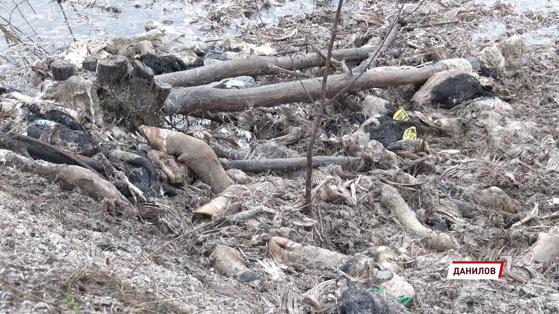 В Даниловском районе специалисты провели дезинфекцию территории, где оставляли мертвых коров