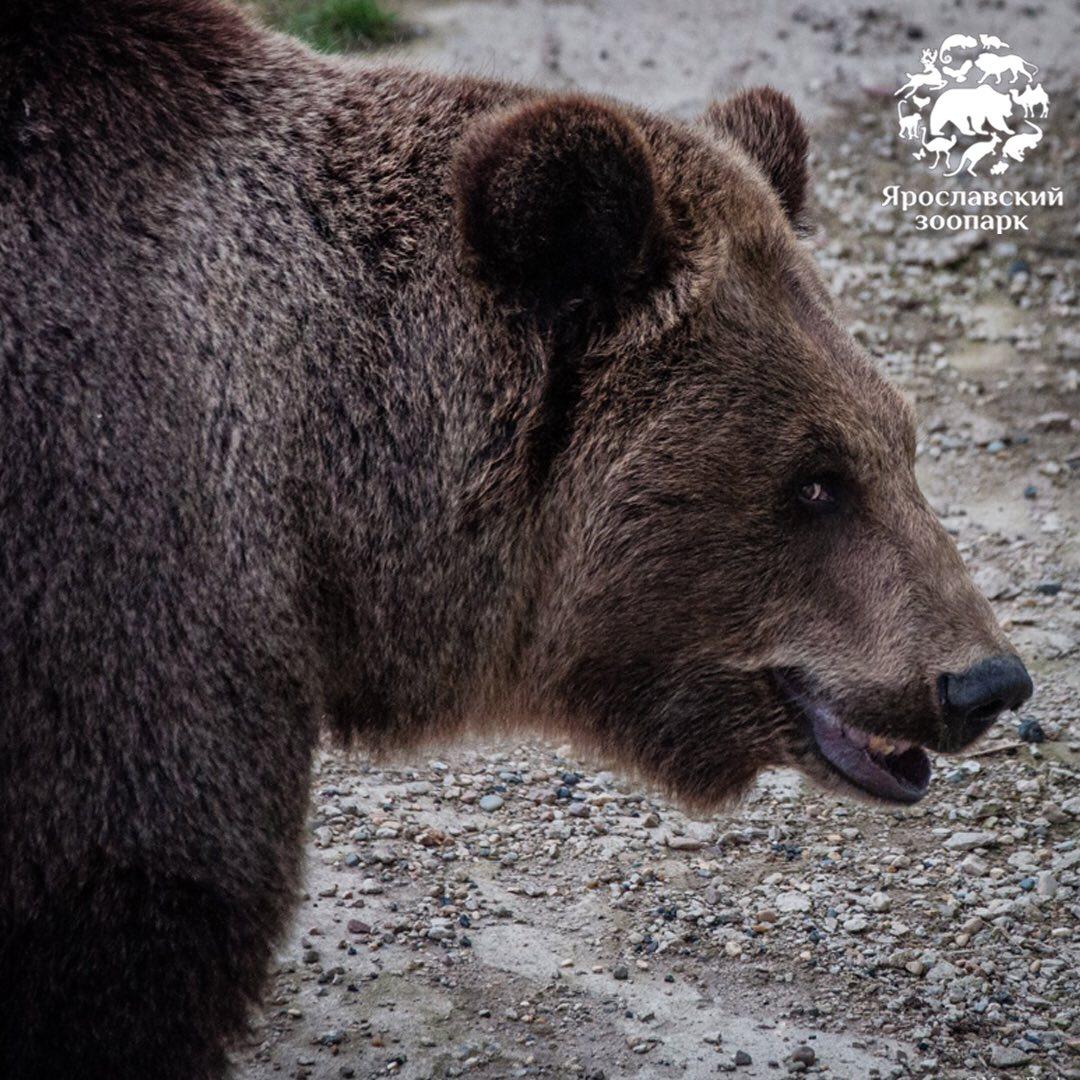 Весне дорогу: в ярославском зоопарке проснулись медведи