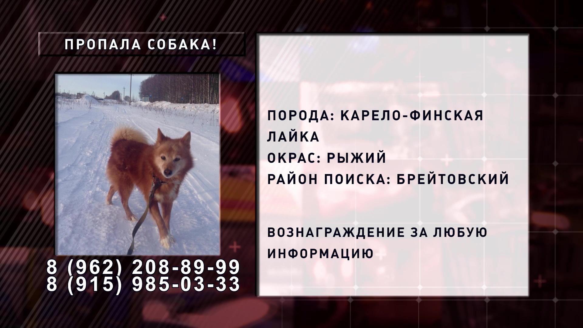 В Брейтовском районе пропала рыжая собака