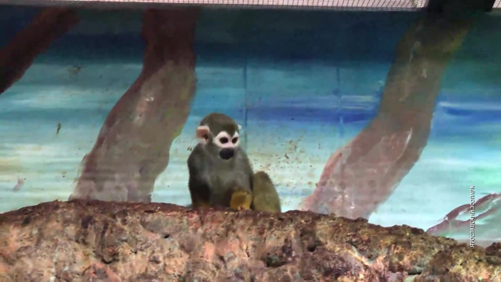 В ярославском зоопарке на свет появился детеныш беличьей обезьяны