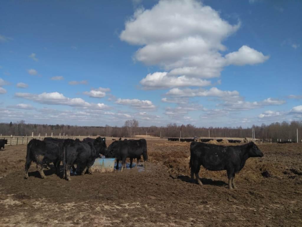 В Пошехонском районе идет реализация инвестпроекта по развитию мясного скотоводства