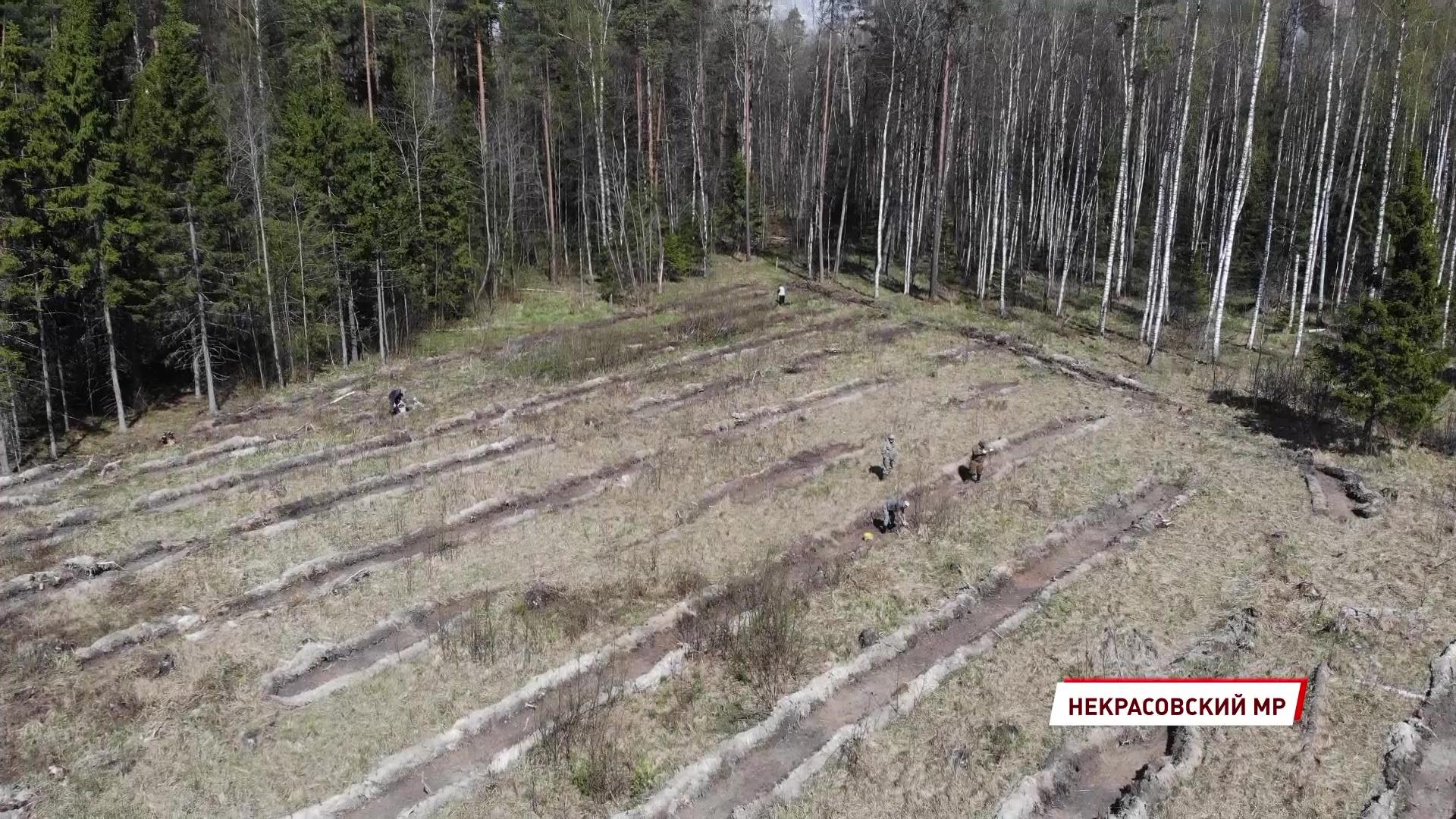 Специалисты начали высадку молодых деревьев в лесах Ярославской области