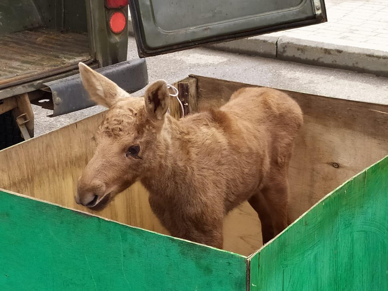 В Ярославском зоопарке поселился лосенок, оставшийся без мамы