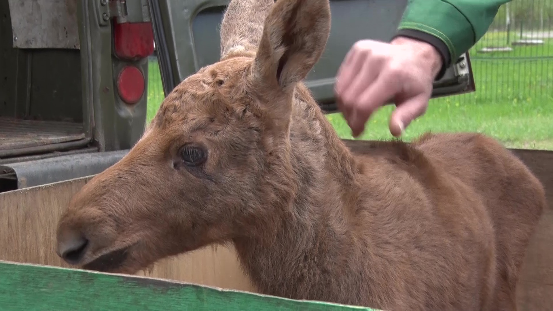 Лосенок, оставшийся в лесу без мамы, поселился в ярославском зоопарке