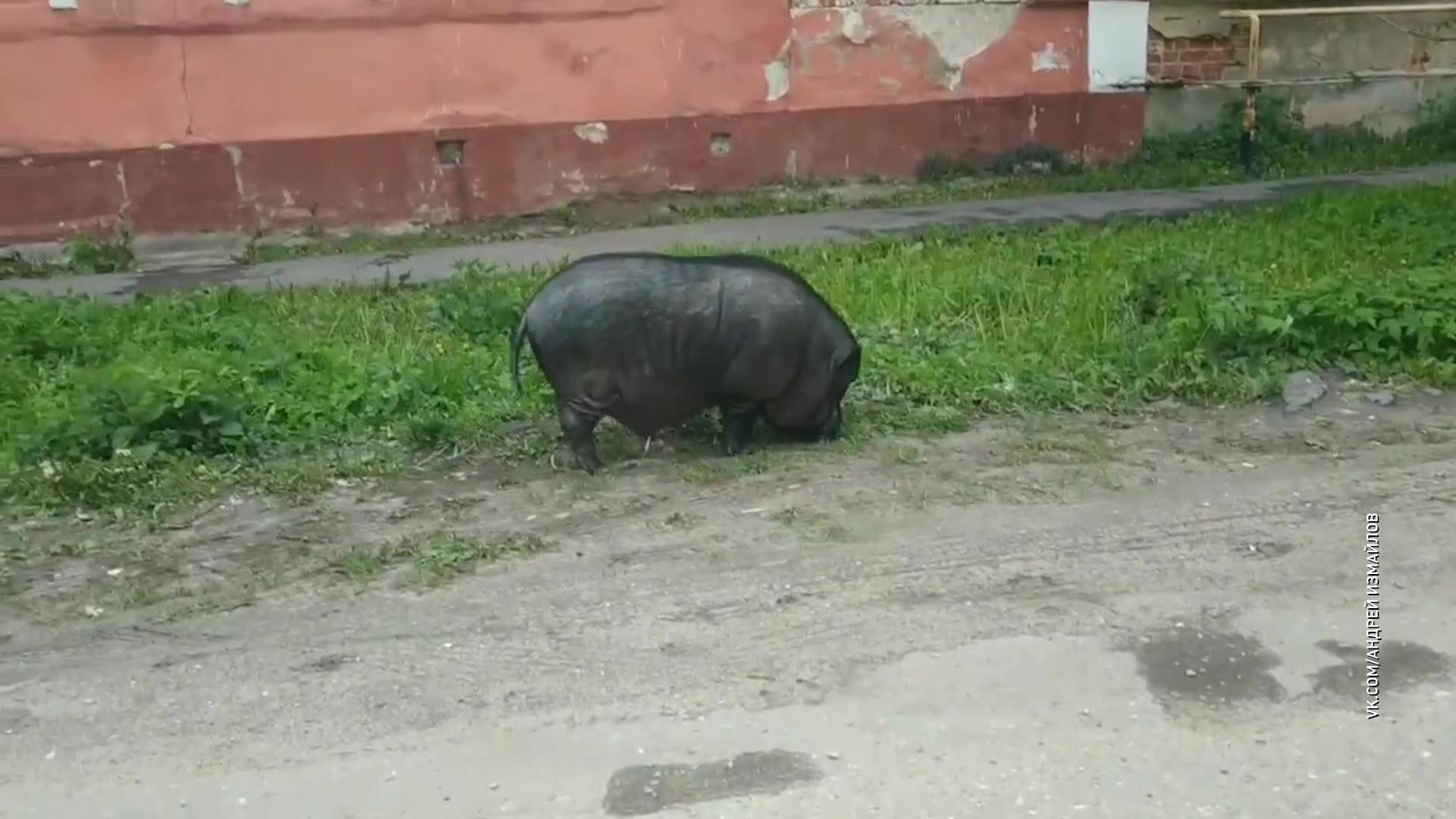 В Переславле карликовую домашнюю свинью приняли за дикого кабана