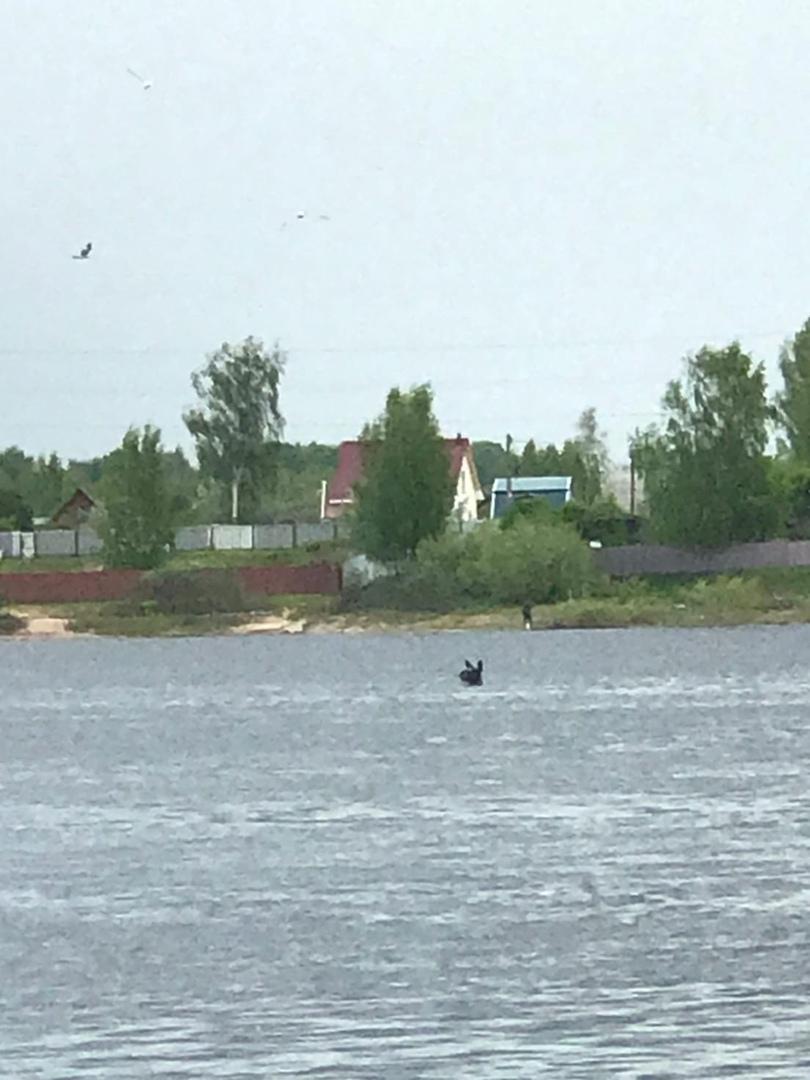 В Ярославле опять заметили купающихся лосей