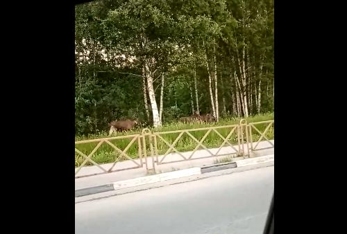 Лоси опять штурмуют улицы Ярославля
