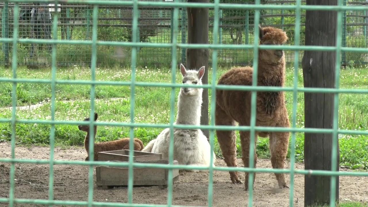 В ярославском зоопарке родилась малышка-альпака: как ее назвали