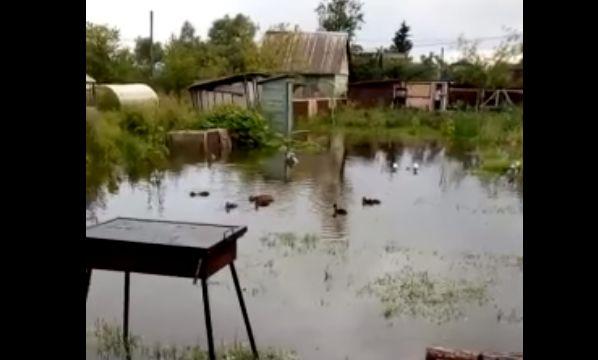 ВИДЕО: под Ярославлем на дачном участке поселились утки