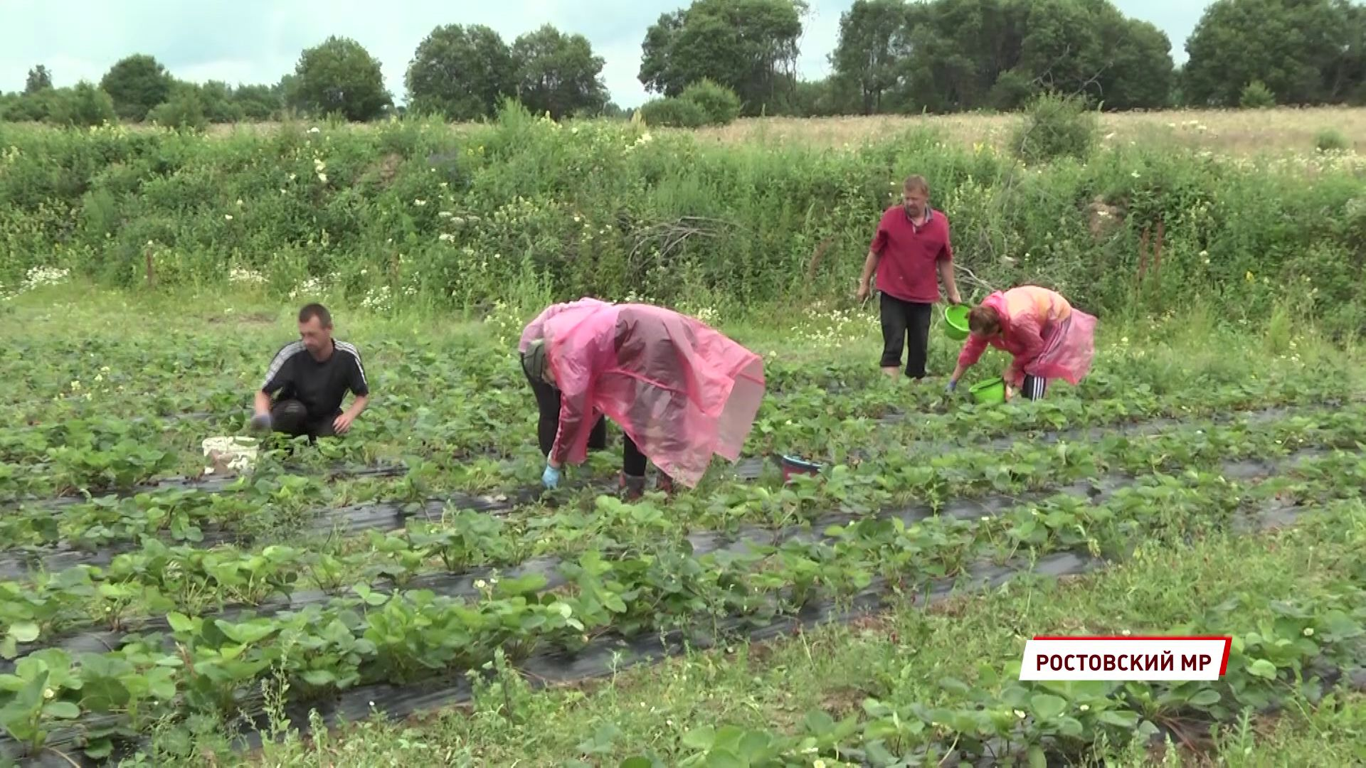 В Ярославле собрали 40 тонн голландской клубники