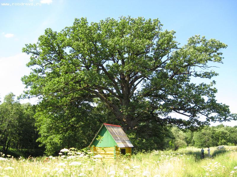 Ярославцы могут выбрать «Российское дерево года»