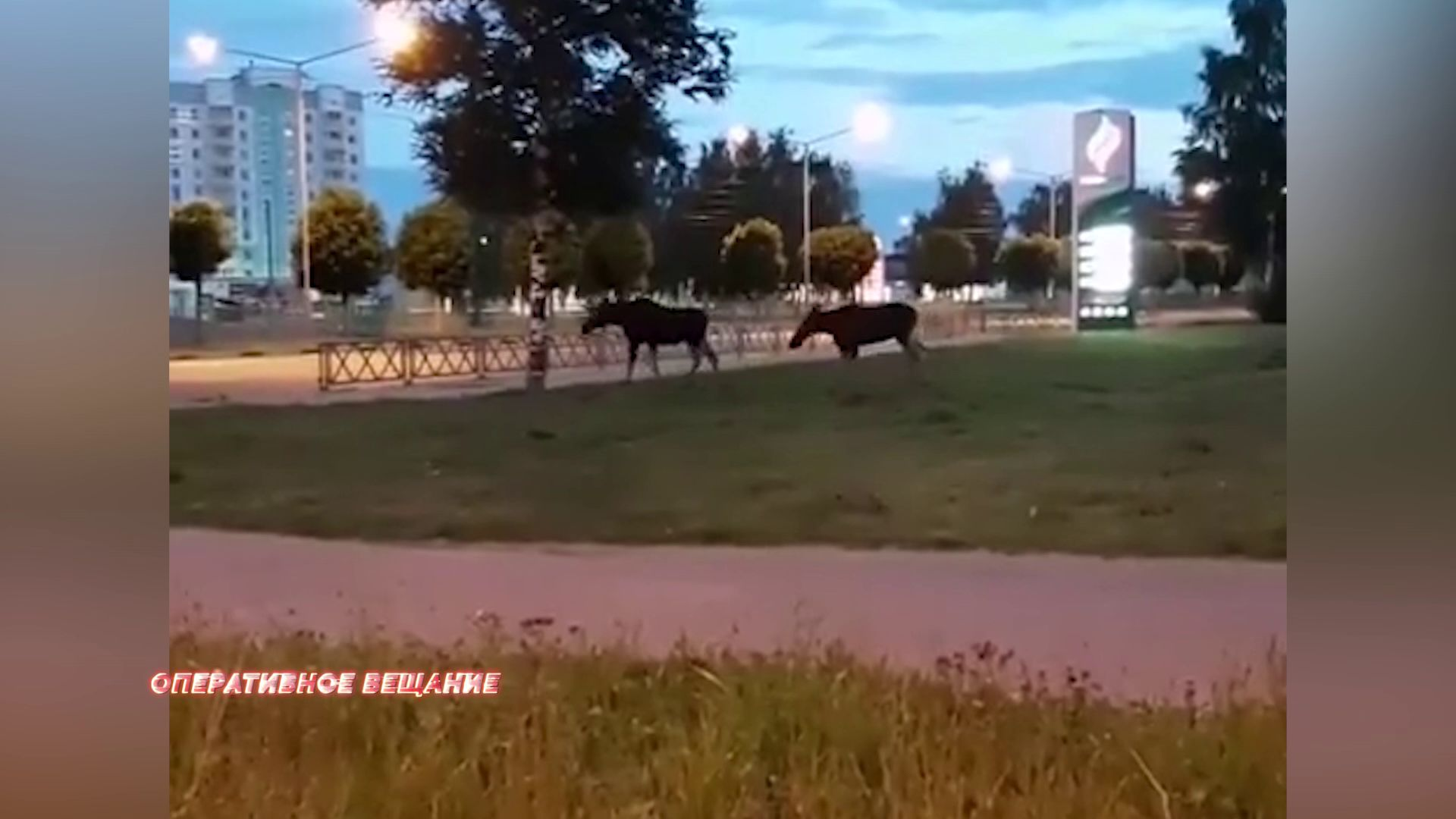 Лоси вновь навестили жителей Ярославля