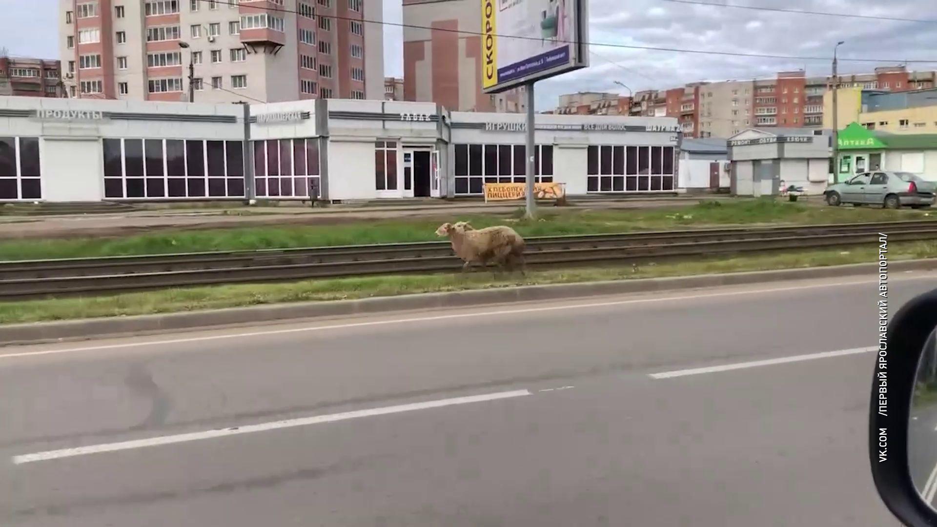 По Ярославлю прогулялись овцы