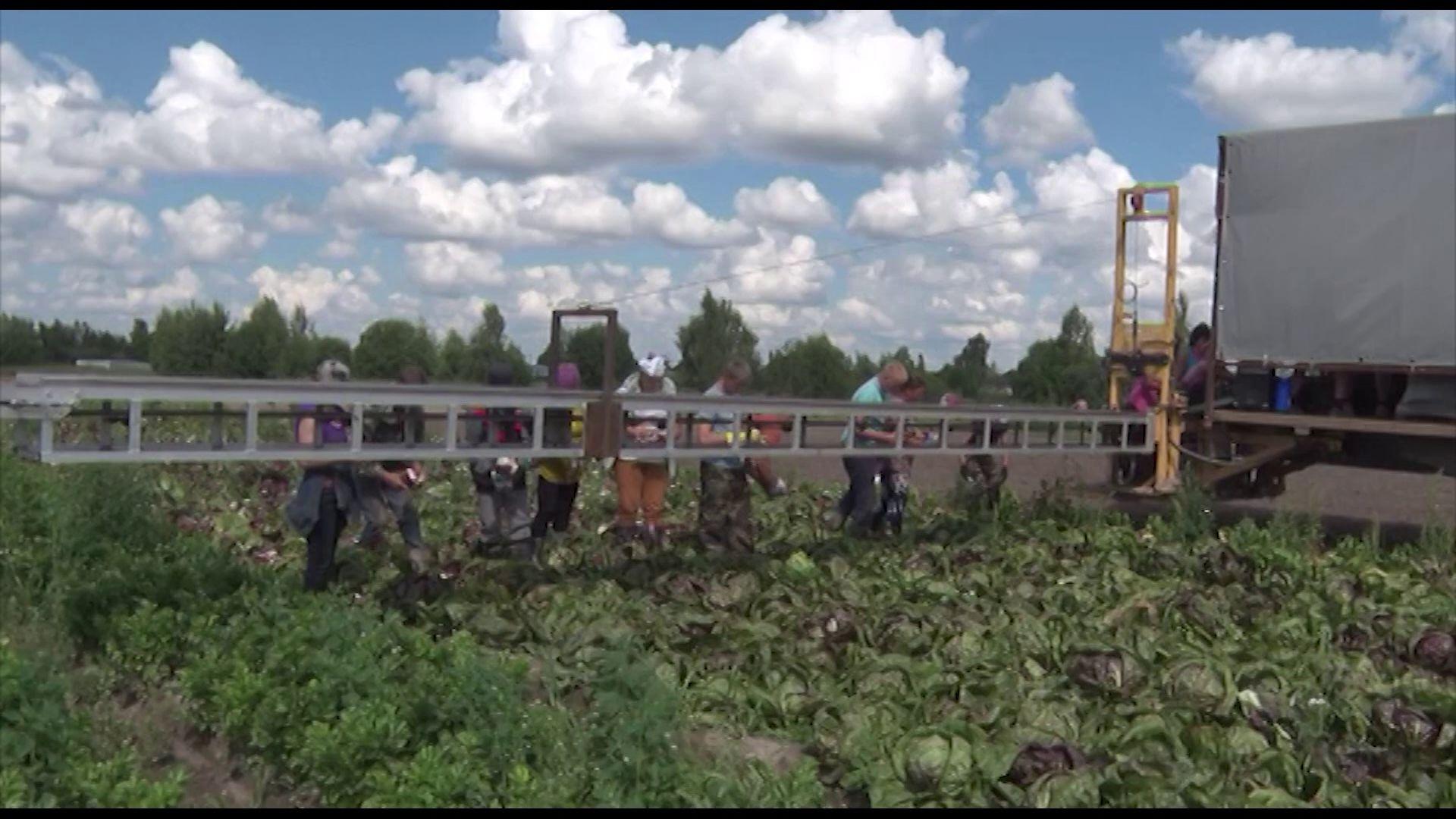 В Ярославской области продолжают собирать урожай