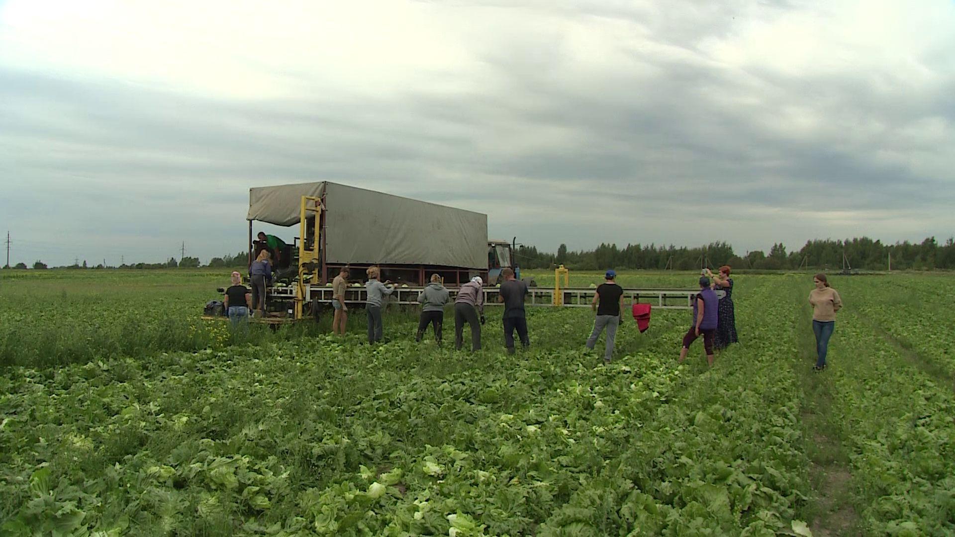 В Ярославском регионе идёт уборочная и кормозаготовительная кампания