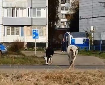 Ничего необычного: ярославцы сняли на видео гуляющее по городу стадо коров
