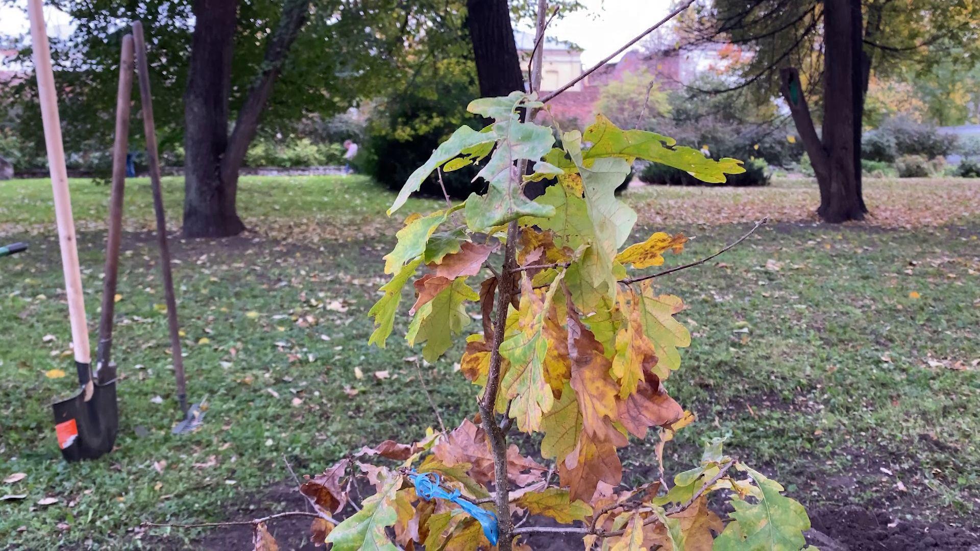 В Губернаторском саду высадили дуб с берегов Невы