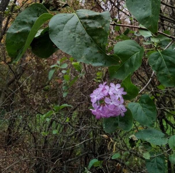 Зацветает сирень и цветы: десять фотографий растений, перепутавших сезоны