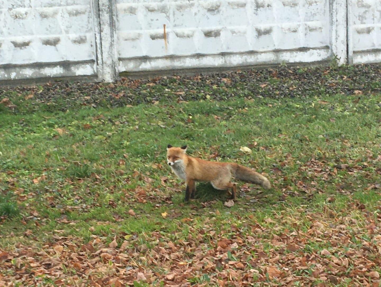 В Ярославле лисица разгуливала по Ленинскому району