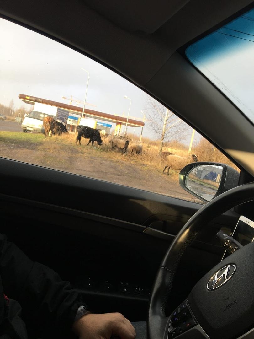 Коровы, овцы и рысь разгуливают по Дзержинскому району Ярославля