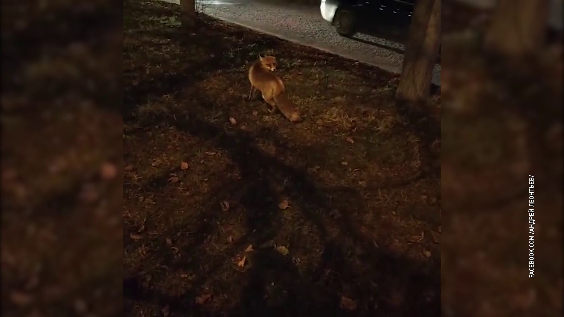 В центре Ярославля прогулялась лиса