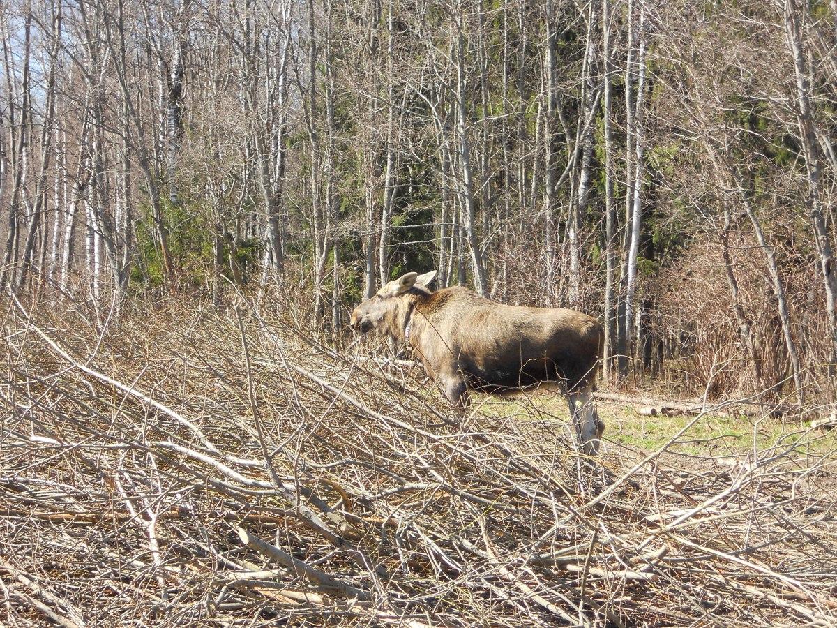 В ярославских лесах обитает около 300 видов позвоночных животных