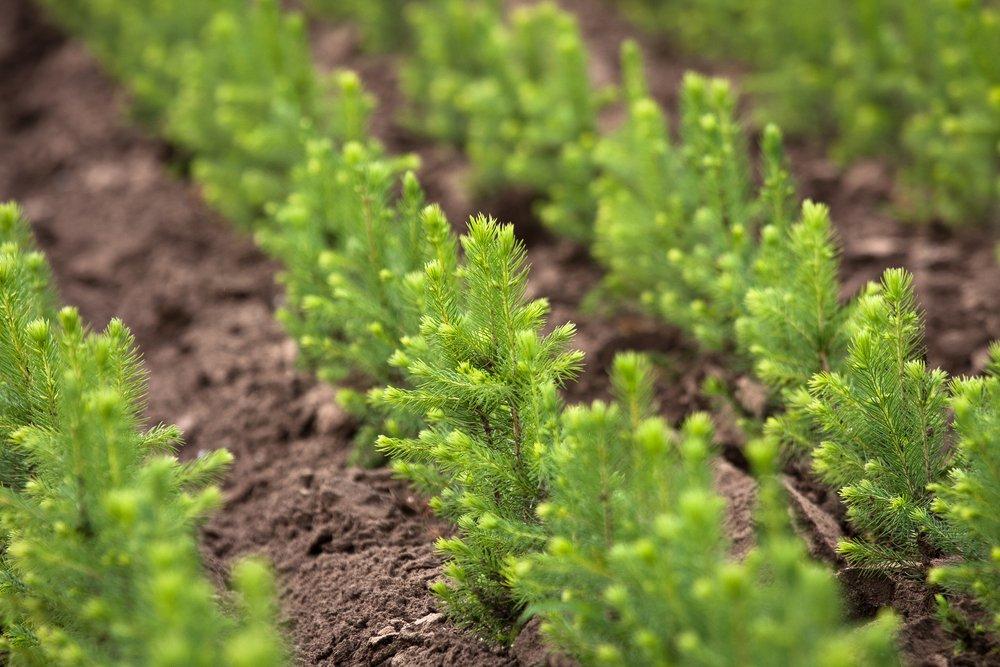 В Ярославской области в будущем году планируют высадить более шести миллионов елей