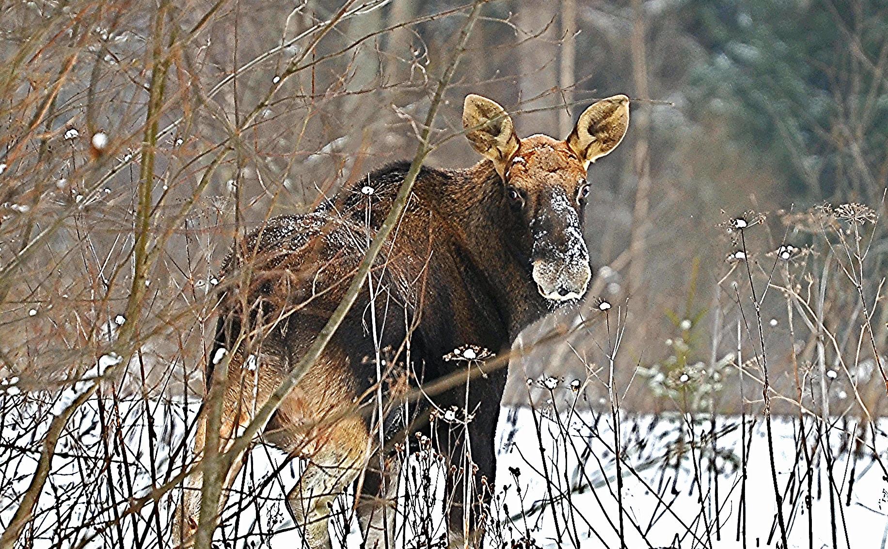 Против ярославцев, незаконно убивших лося, возбудили уголовное дело