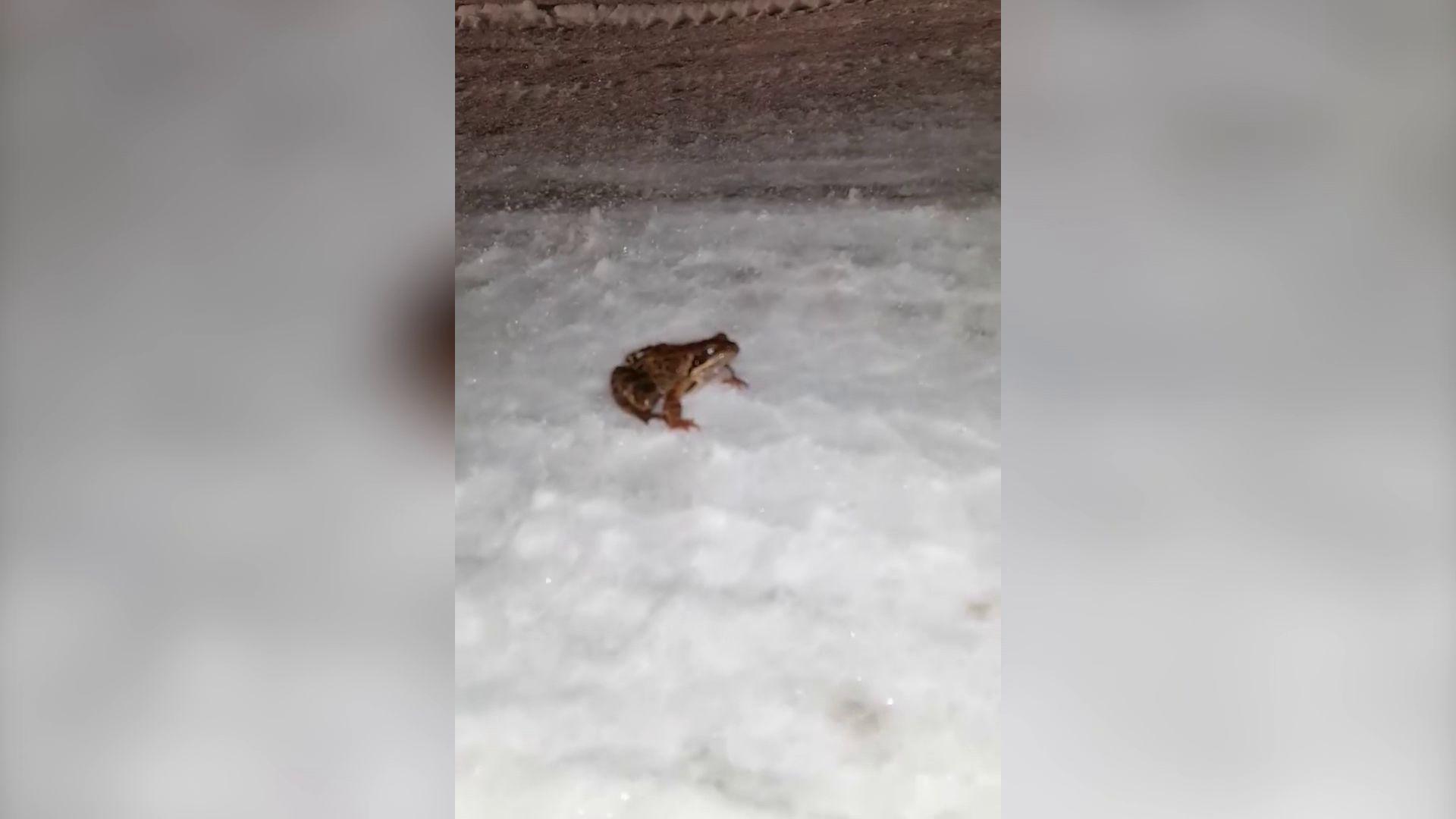 В Ярославле лягушка прогулялась по заснеженной дороге