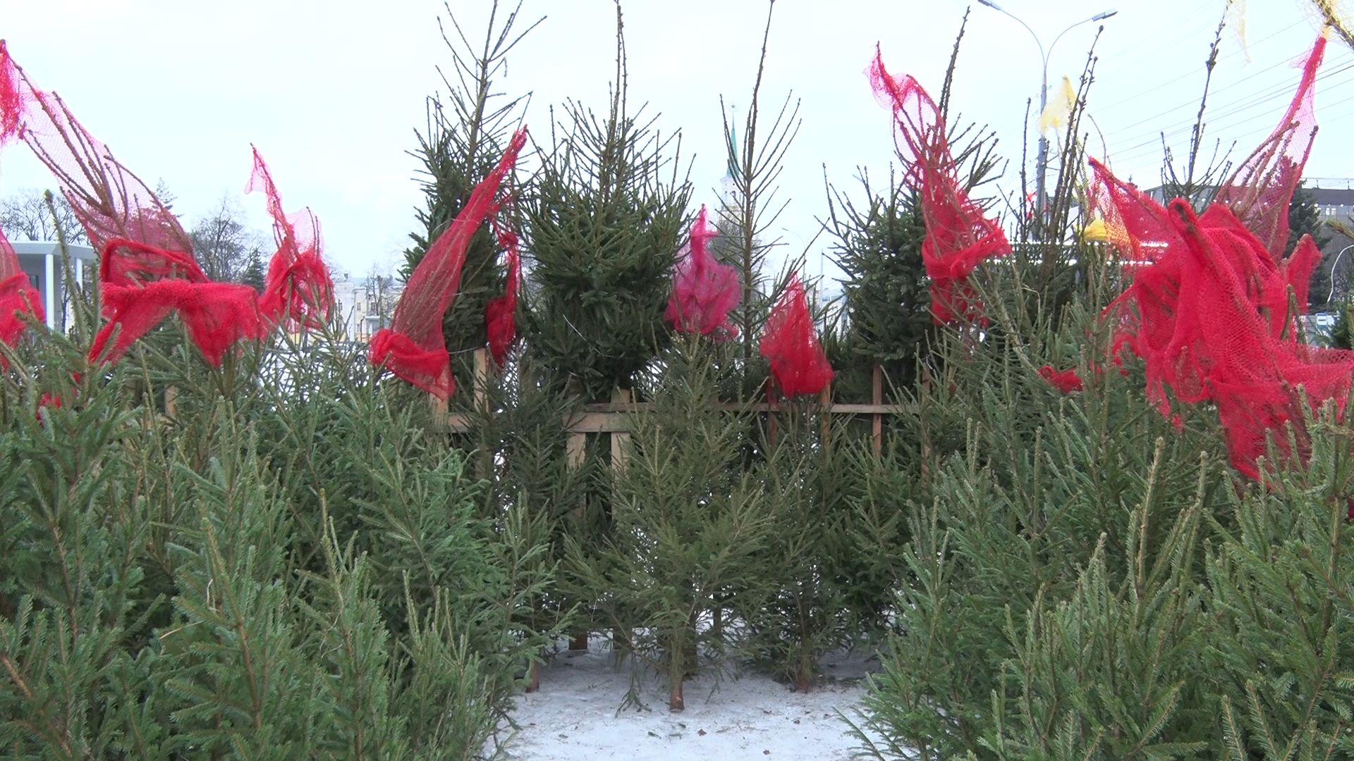 Новый год близко: выбираем лучшую елку