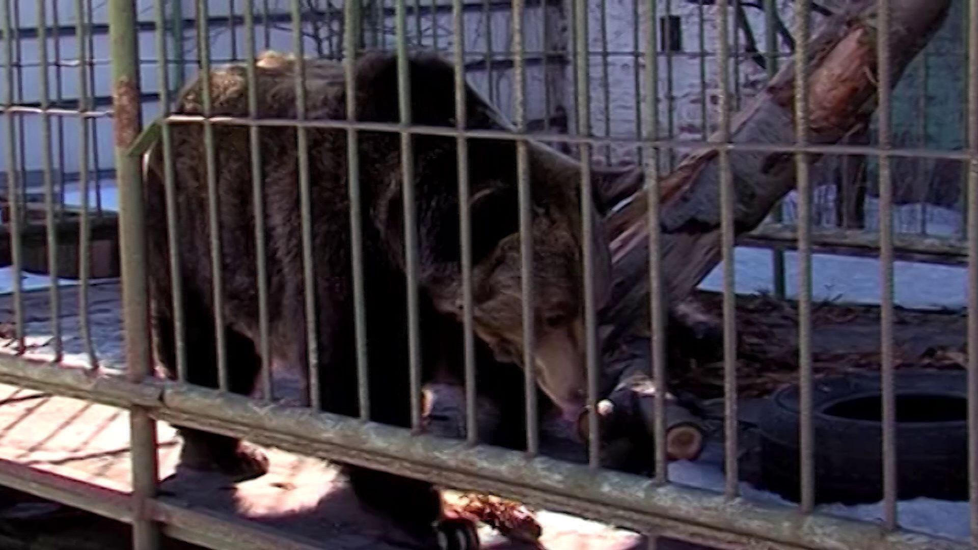 В Ярославской области зима наступила: медведица Маша ушла в спячку